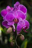 Phalaenopsis orchids in bloom, Kailua, Island of Hawaii, Hawaii, United States of America