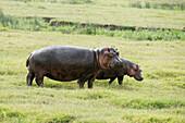 Female and young Hippopotamos Hippopotamus amphibius standing in short grass, Ngorongoro Crater, Tanzania