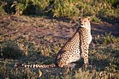 Cheetah Acinonyx jubatus in golden light sits on haunches near Ndutu, Ngorongoro Crater Conservation Area, Tanzania