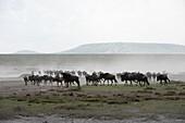 Herd of Wildebeest Connochaetes taurinus stirs up dust while moving across Serengeti short grass plains near Ndutu, Ngorongoro Crater Conservation Area, Tanzania