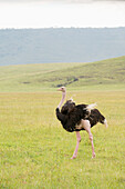 Male Common Ostrich Struthio camelus with wing feathers fluttering walks across open grassland on floor of Ngorongoro Crater, Tanzania