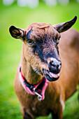 Pet goat at a farm, near Limoges, France