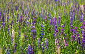 Lupins growing wild in hay field, Foster, Quebec, Canada
