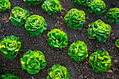 Agriculture - Rows of mature Winter crop butter lettuce being grown in the desert  Bard Valley, California, USA.