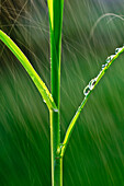Agriculture - Structure of an early growth grain corn stalk in a Spring rainstorm  Iowa, USA.