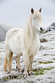 Livestock - White Fell pony on moorland in winter. Fell ponies are a hardy native breed, semi wild. They are normally brown, but there are a few white ones  Cumbria, England, United Kingdom.