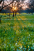 Agriculture - Dormant walnut orchard in Winter with the setting sun filtering through the trees and wildflowers growing on the orchard floor  Sacramento Valley, California, USA.