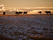 Livestock - Mixed breeds of beef cattle on a snow covered Winter native prairie pasture at sunset  Alberta, Canada.