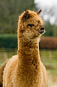 Livestock - Closeup of a brown alpaca paco adult on a pasture during winter  Cumbria, England, United Kingdom.