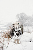 Livestock - Herdwick sheep in snow in the high mountains. The Herdwick sheep is an ancient breed of sheep originating in the lake district in Cumbria. They are the hardiest of British sheep, well adapted and robust, able to survive the inclement mountaino