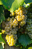 Agriculture - Mature Chardonnay wine grape clusters on the vine  near Orland, California, USA.
