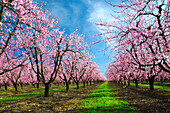 Agriculture - Peach orchard in full bloom in Spring  near Yuba City, California, USA.