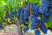 Agriculture - Mature Syrah aka. Shiraz wine grape clusters on the vine  Shenandoah Valley, Amador County, California, USA.
