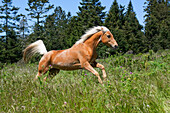 Livestock - A Palomino horse running through a meadow at the edge of a forest  near Fort Bragg, California, USA.