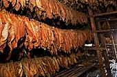 Tobacco leaves drying in barn,  Vinales, Cuba