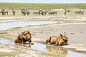 Two large, dark-maned male lions panthera leo lying by water while herd of Common Zebras Equus quagga watches from a distance, near Ndutu, Ngorongoro Crater Conservation Area, Tanzania