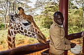 'Tourist feeding a Rothschild's giraffe Giraffa camelopardalis rothschildi at the Giraffe Centre; Nairobi, Kenya'