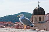Gull, Dubrovnik, Dubrovnik-Neretva, Croatia