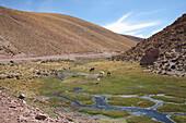 Llamas Lama Glama, Machuca, Antofagasta Region, Chile