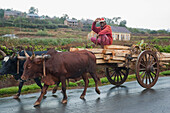Bullock Car Carrying Wood On The Road Between Antananarivo & Ambositra, Antananarivo Province, Madagascar