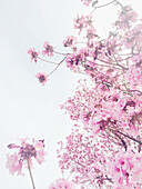 Low angle view of flowering cherry tree