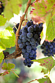 Close up of grapes growing on vine