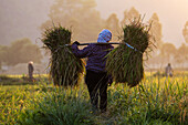 Farmer carrying rice plants in rural field