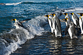 King penguins Aptenodytes patagonicus approach the water cautiously, generally in groups, and after some hesitation, often a bit of pushing and twacking with flippers, one of them takes the plunge, which generally triggers a mass-entrance to the water – ,