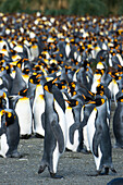 Thousands of king penguins Aptenodytes patagonicus populate South Georgia's largest colony, Gold Harbour, South Georgia Island, Antarctica