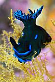 Dorid Nudibranch, Tambja sp., Komodo National Park, Indonesia