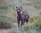 Spotted hyena spotted hyaena Crocuta crocuta juvenile, Serengeti National Park, Tanzania, East Africa, Africa
