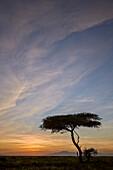 Acacia tree and clouds at sunrise, Ngorongoro Conservation Area, UNESCO World Heritage Site, Serengeti, Tanzania, East Africa, Africa