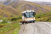 A grizzly bear walks across the Park Road in front of a wilderness tours bus in Denali National Park, Interior Alaska, Summer, USA.