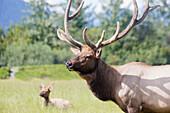 CAPTIVE,  Bull Elk and cow at the Alaska Wildlife Conservation Center near Portage, Southcentral Alaska, Summer