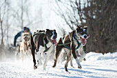 Dogs teams run through the city for the 2011 Fur Rondy World Championship Sled Dog Races in Anchorage, Alaska