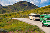 Tour buses line up on the Park Road at Highway Pass as a grizzly bear approaches the road in Denali National Park with Sony Dome in the background, Interior Alaska