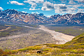 A grizzly bear in Denali National Park at Polychrome Pass with the Alaska Range in the background, Denali National Park, Summer