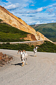 A couple of adult rams are walking on the park road at Polychrome Pass in Denali National Park, Interior Alaska, Summer