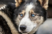 Close up of a dog at the pre-race veterinary checkup held at Iditarod headquarters in Wasilla during the 2015 Iditarod