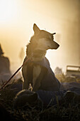 Silhouette of a sled dog in the fog at the Huslia checkpoint during Iditarod 2015