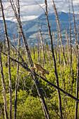 A Lynx in a dead spruce tree in a forest fire regeneration area, Kluane Lake, Northern Yukon Territory, Canada, Summer