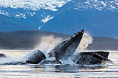 View of a pod of Humpback whales bubble net feeding on small fish in Southeast Alaska near Juneau, Summer.