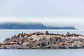 View of Steller Sea Lions on a large rock in fog in Glacier Bay National Park, Southeast Alaska, Summer.