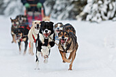 Joee Reddinton's Dogs Running In The 2011 Exxonmobil Open, Southcentral Alaska, Winter