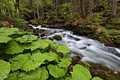 Bergbach im Wald des Hartelsgraben im Frühling mit Pflanzen im Vordergrund, Gesäuse Nationalpark, Ennstaler Alpen, Steiermark, Österreich