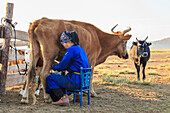 Seated lady wearing traditional clothing deel milks cow, Summer dawn, Nomad camp, Gurvanbulag, Bulgan, Northern Mongolia, Central Asia, Asia