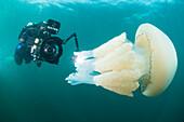 Diver with giant barrel jellyfish off the South Coast, Devon, England, United Kingdom, Europe