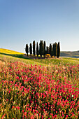 Group of cypress trees and field of flowers, near San Quirico, Val d'Orcia Orcia Valley, UNESCO World Heritage Site, Siena Province, Tuscany, Italy, Europe