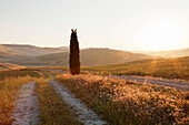 Tuscan landscape with cypress tree at sunrise, near San Quirico, Val d'Orcia Orcia Valley, UNESCO World Heritage Site, Siena Province, Tuscany, Italy, Europe