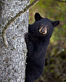 Black bear Ursus americanus yearling cub climbing a tree, Yellowstone National Park, Wyoming, United States of America, North America